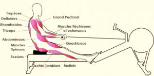 muscle rameur modele