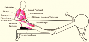 muscles rameur comparatif